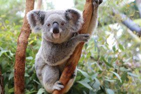 image-koala